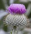 Thistle Flower (4907295629).jpg
