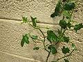 Thudhuvalai (Solanum trilobatum).jpg