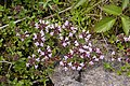 Thymus quinquecostatus 03.jpg