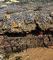 Tidepools in Santa Cruz at low tide.jpg