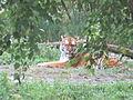 Tiger!.JPG