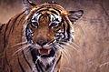 Tigress (Panthera tigris) (19616643259).jpg