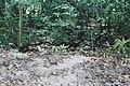 Tikal Coatimundi (10514840935).jpg