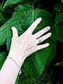 Tilia mexicana leaf, with hand for scale.jpg