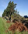 Timpesse Zawiya råyaedje ciprès.jpg