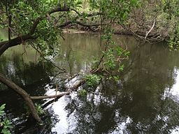Tingalpa Creek at Capalaba Regional Park.JPG