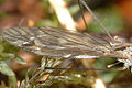 Tipula.luteipennis9.-.lindsey.jpg
