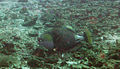 Titan Triggerfish - Ko Tao, Thailand 1093.jpg