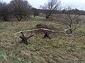 Tjekkiske pindsvin ved Søgård.jpg