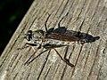 Tolmerus atricapillus (Asilidae) - (imago), Molenhoek, the Netherlands.jpg