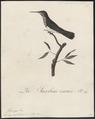 Topaza mellivora - 1802 - Print - Iconographia Zoologica - Special Collections University of Amsterdam - UBA01 IZ19100257.tif