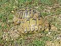 Tortoises in Krushevska Reka valley - P1100157.JPG