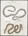 Tortrix scytale - 1700-1880 - Print - Iconographia Zoologica - Special Collections University of Amsterdam - UBA01 IZ11400049.tif
