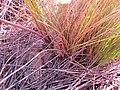 Trachyandra species IMG 7135.jpg