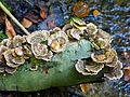 Trametes versicolor, Schmetterlingstramete JOF.JPG