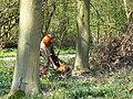 Tree felling, Cobham Frith (3) - geograph.org.uk - 1265335.jpg