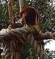 Tree kangaroo at melbourne zoo.jpg