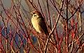 Tree sparrow (Passer montanus) Полско врабче.jpg