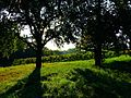 Trees And Vineyard - panoramio.jpg