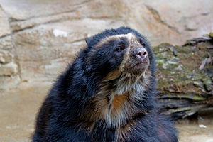 Spectacled bear - At the Cincinnati Zoo