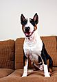 Tri-Color English Bull Terrier.jpg