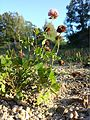 Trifolium hybridum subsp. hybridum sl9.jpg