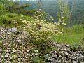 Trinia glauca 180513.jpg