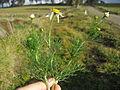 Tripleurospermum maritimum subsp inodorum leaf5 (16376894581).jpg