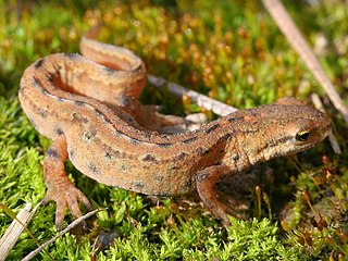 Smooth newt Species of amphibian