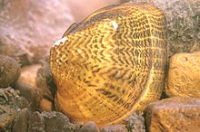 A brown striped mussel shell surrounded by rocks