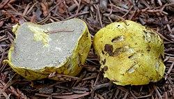 Truncocolumella citrina 397223.jpg