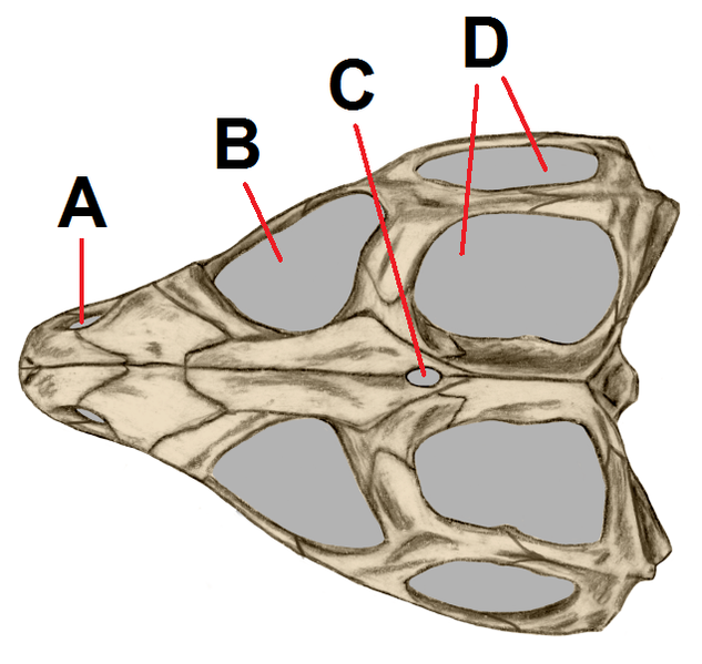 Bestand:Tuatara upper side skull tagged.png
