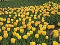 Tulipa Golden Apeldoorn.jpg