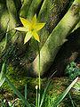 Tulipa sylvestris02.jpg