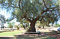 Tullibigeal Pepper Tree 001.JPG