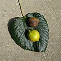 Tung Tree Leaf and Berries.jpg