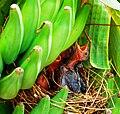 Turdoides striatus chicks.JPG