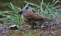 Turdus pilaris -collecting nest material-8.jpg