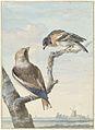 Twee vogels- een appelvink (Coccothraustes coccothraustes) en een keep (Fringilla montifringilla).jpeg