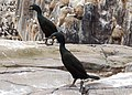 Two shags on Staple Island - geograph.org.uk - 1378071.jpg