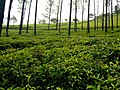 Udhagamandalam Tea estates.jpg