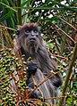 Ugandan Red Colobus Monkey (15242587441).jpg