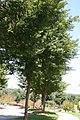 Ulmus parvifolia Allee 3zz.jpg