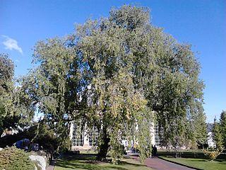 <i>Ulmus pumila</i> Pinnato-ramosa Elm cultivar