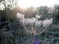 Umbelifer with frost.jpg
