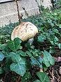 Unidentified mushroom in Freiburg, Switzerland 2.jpg