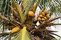 Unripe coconuts (26633737192).jpg