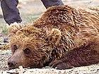 Ursus arctos gobiensis