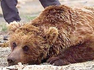 Gobi bear subspecies of mammal
