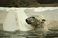 Ursus maritimus at the Bronx Zoo 004.jpg